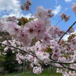 今年、最後の桜だったかな。チャットレディ募集【仙台泉中央店】